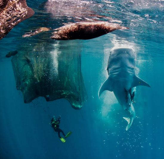 Tiburón ballena en bahía de Cenderawasih, en Papúa Nueva Guinea (Indonesia).   /  PAUL COWELL