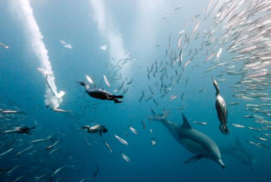 Millones de sardinas Sudáfrica / DMITRY MIROSHNIKOV